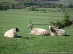Big bald headed sheep