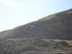 Rock climbing sheep