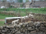 Some playful lambs in Appersett